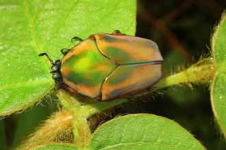 Green June Beetle , 7 Green Beetle Bug In Beetles Category
