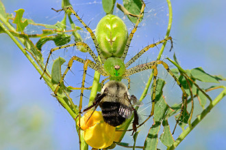 Green Lynx Spider Eats A Bee , 6 Photos Of Green Lynx Spider Eating In Spider Category
