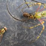 Green Lynx Spider eats Green Bottle Flies , 6 Photos Of Green Lynx Spider Eating In Spider Category