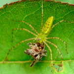 Green Lynx eating a spider , 6 Photos Of Green Lynx Spider Eating In Spider Category