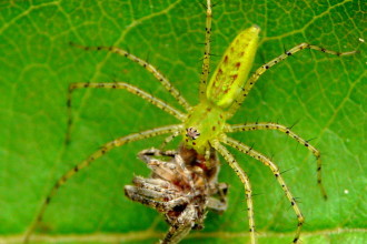 Green Lynx eating a spider in