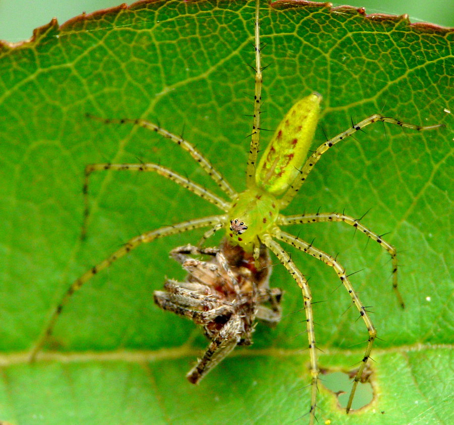 Green Lynx eating a spider