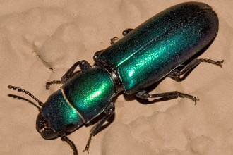 Green Metallic Beetle , 7 Green Beetle Bug In Beetles Category