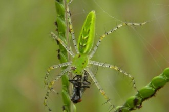 Green Lynx Grabs A Pollinator , 6 Photos Of Green Lynx Spider Eating In Spider Category