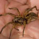 Hogna lenta  Florida brown florida , 6 Brown Spider Florida In Spider Category