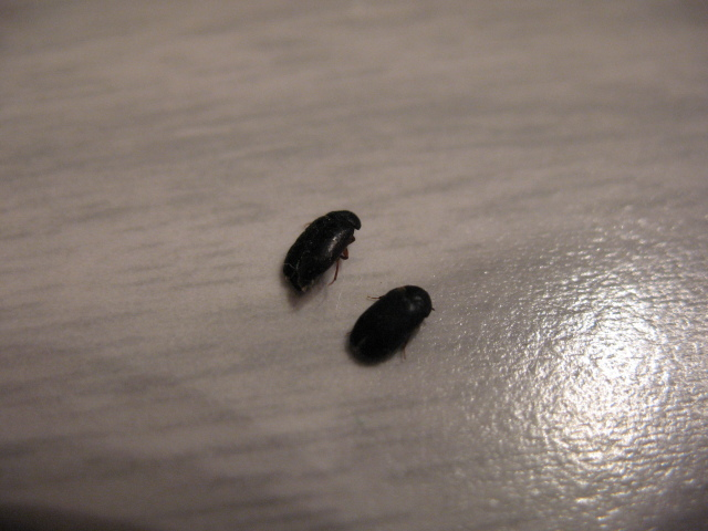 6 Small Black Beetle Like Bug  House Bugs. 6 small black beetle like bug in Beetles   Biological Science
