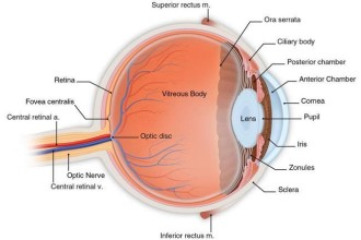 Human Eye Anatomy in Animal
