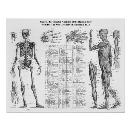 Skeleton , 6 Human Anatomy Skeleton Pictures : Human Skeletal And Muscular Anatomy
