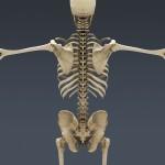 Human Skeleton 3d , 3 Human Skeleton 3d In Skeleton Category