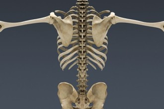 Human Skeleton 3d in Skeleton
