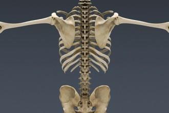 Skeleton , 3 Human Skeleton 3d : Human Skeleton 3d