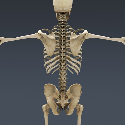 bones structure purpose and transformation throughout humans life Becoming human: the evolution of walking upright the evolution of the major traits and behaviors that define humans the thigh bones confirms orrorin.