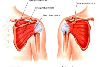 Impingement And Rotator Cuff Injuries , 5 Rotator Cuff Anatomy Muscles In Muscles Category