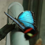 Iridescent Blue butterfly , 6 Iridescent Blue Butterfly Photos In Butterfly Category