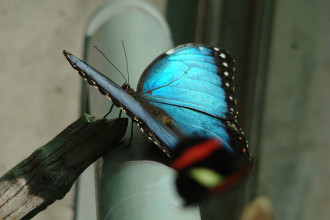 Iridescent Blue butterfly in Spider