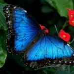 Iridescent beauty black blue butterfly , 6 Iridescent Blue Butterfly Photos In Butterfly Category