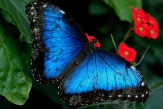 Iridescent Beauty Black Blue Butterfly , 6 Iridescent Blue Butterfly Photos In Butterfly Category