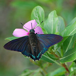 Iridescent blue Mangrove Skipper , 6 Iridescent Blue Butterfly Photos In Butterfly Category