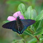 Iridescent blue Mangrove Skipper , 6 Iridescent Blue Butterfly Photos In Butterfly Category