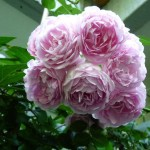 Jasmina Modern Roses , 7 Modern Roses Names In Plants Category
