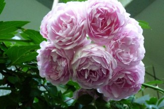 Jasmina Modern Roses in Cat