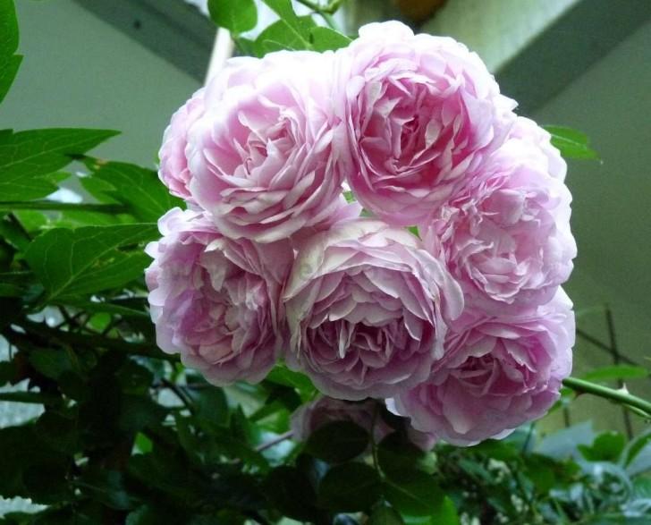 Plants , 7 Modern Roses Names : Jasmina Modern Roses