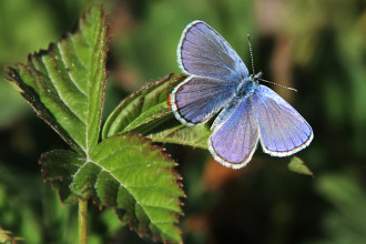 Karner Blue Butterfly , 6 Blue Karner Butterfly Pictures In Butterfly Category