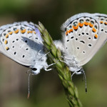 Karner Blue Butterfly couple , 6 Blue Karner Butterfly Pictures In Butterfly Category