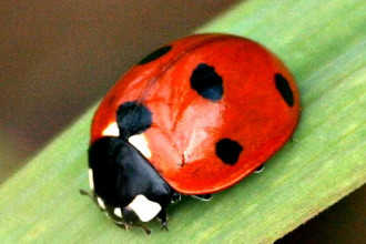 Lady Bug Beetle in Spider