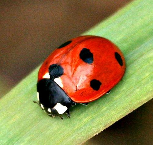 Beetles , 6 Lady Bug Beetles : Lady Bug Beetle