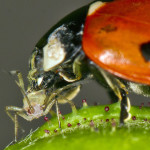 Ladybird Ladybug eating greenfly , 8 Lady Bugs Eating Photos In Bug Category