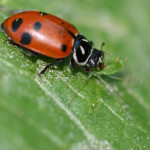 Ladybug Eating , 8 Lady Bugs Eating Photos In Bug Category