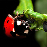 Ladybug Eating Aphid photos , 8 Lady Bugs Eating Photos In Bug Category