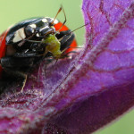 Ladybug Eating an Aphid , 8 Lady Bugs Eating Photos In Bug Category