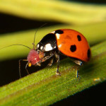 Ladybug eating aphid , 8 Lady Bugs Eating Photos In Bug Category