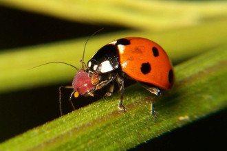 Ladybug eating aphid in Cell