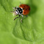 Ladybugs Eat A Lot , 8 Lady Bugs Eating Photos In Bug Category