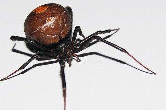 Large Redback Spider , 7 Redback Spider Photo In Spider Category
