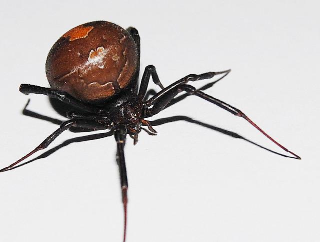Spider , 7 Redback Spider Photo : Large Redback Spider