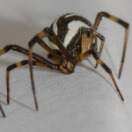 Latrodectus hesperus , 7 Brown And White Spider Photos In Spider Category