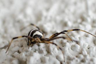 Latrodectus Hesperus Brown And White Spider , 7 Brown And White Spider Photos In Spider Category