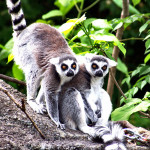 Lemurs Tropical Rainforest , 7 Pictures Of Tropical Rainforest Primates In Primates Category