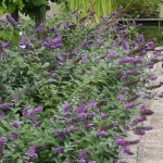 Lo And Behold Blue Chip Butterfly Bush Picture , 6 Lo And Behold Blue Chip Butterfly Bush In Plants Category