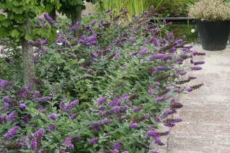 Lo And Behold Blue Chip Butterfly Bush Picture in Dog