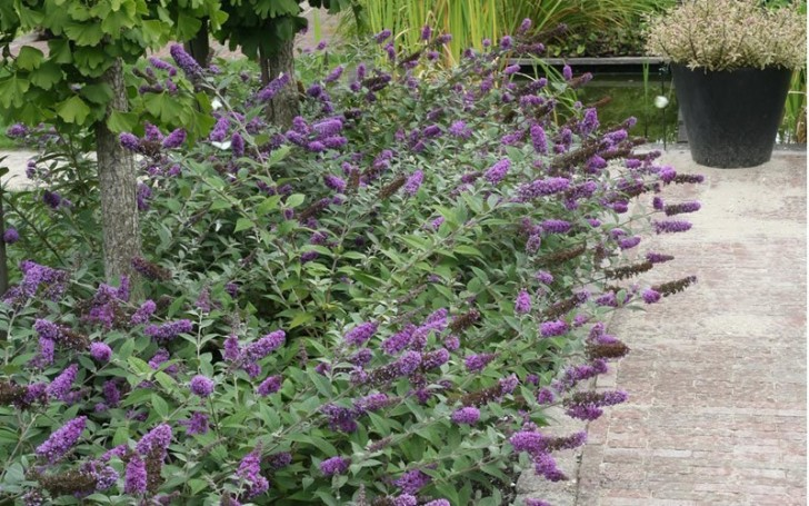 Plants , 6 Lo And Behold Blue Chip Butterfly Bush : Lo And Behold Blue Chip Butterfly Bush Picture