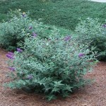 Lo And Behold Blue Chip Butterfly Bush Plants , 6 Lo And Behold Blue Chip Butterfly Bush In Plants Category