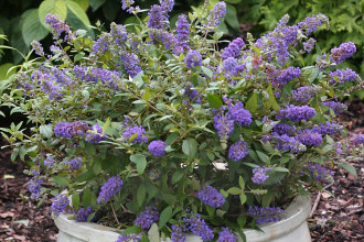 Lo & Behold Blue Chip Butterfly Bush in Laboratory