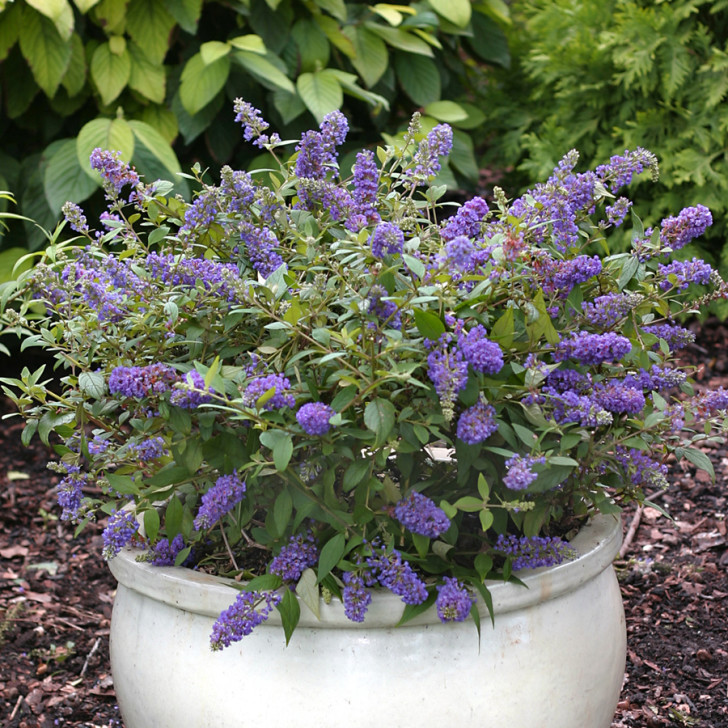 Plants , 6 Lo And Behold Blue Chip Butterfly Bush : Lo & Behold Blue Chip Butterfly Bush