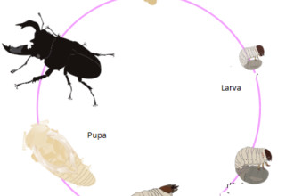 Lucanus Cervus Stag Beetle Life Cycle , 5 Beetle Life Cycles Diagrams In Beetles Category