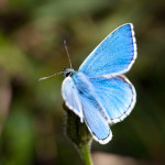 Lysandra bellargus , 4 Adonis Blue Butterfly Pictures In Butterfly Category